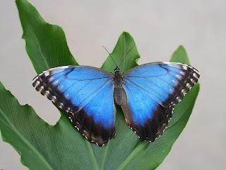 Morpho peleides - Morpho bleu - Morpho helenor peleides