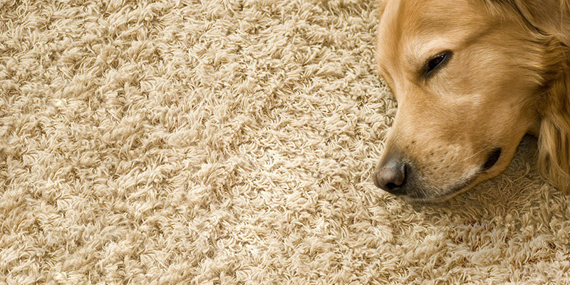 Carpets And Pet Stains