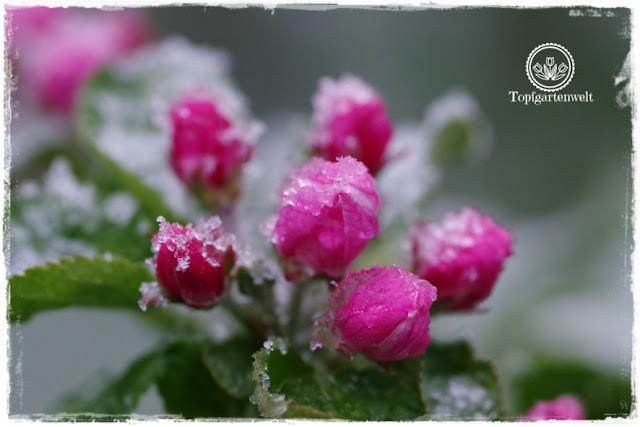 Gartenblog Topfgartenwelt Wetter: verschneite Säulenapfelblüten