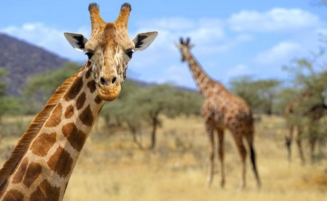 Xvlor Amboseli National Park is safari area in dry ecosystem of Kenya