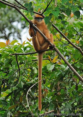 primates en peligro Presbytis melalophos