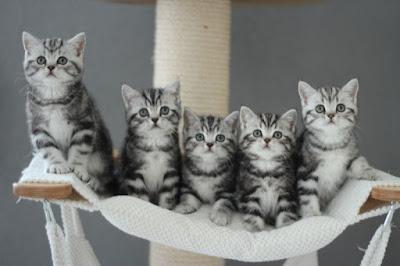 vijf schattige grijs gestreepte kittens op een rij,in hun hangmatje op een beige krabpaal. Rechtuit starend in de lens, echte fotomodellen.