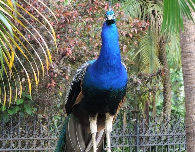 Pavo real con colores hermosos azul