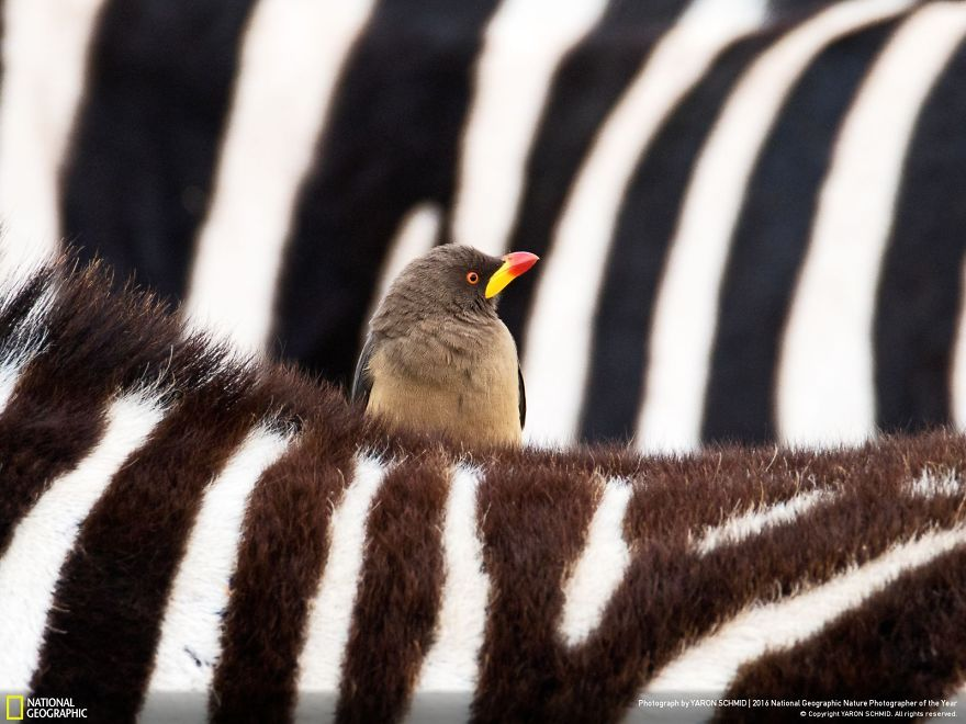 20+ Of The Best Entries From The 2016 National Geographic Nature Photographer Of The Year - The Zebra And The Oxpecker