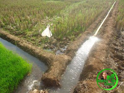 Pengairan bibit padi di penyemaian menggunakan pompa yang sumber airnya minim