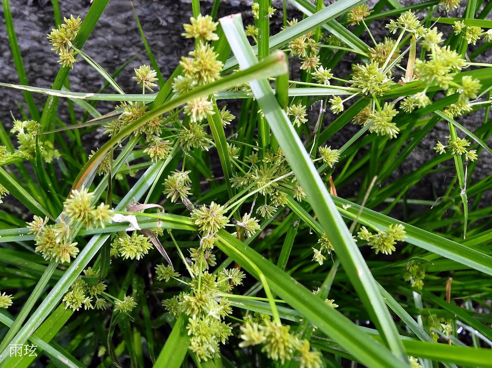 雖然異花莎草是造成灌溉溝渠 排水不良的雜草。但野草亦是花. 以觀看植物角度