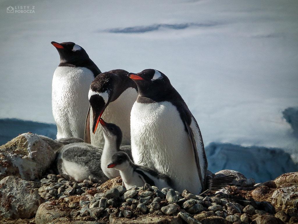 Pingwin białobrewy na Antarktydzie