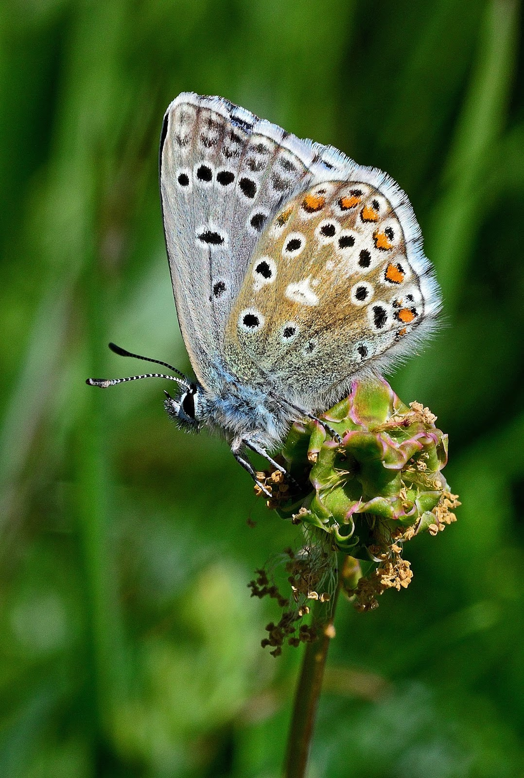 Butterfly Islands: Another Spring Blue