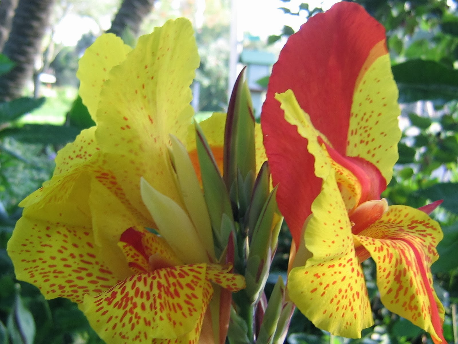 Yellow with red markings Canna lily flowers