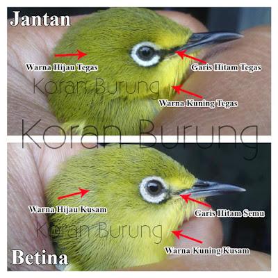Cara Paling Tepat Membedakan Burung Pleci Jantan Dan Betina Lengkap Dengan Gambar