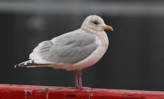 Kumlien's Gull with dark wings in St.John's