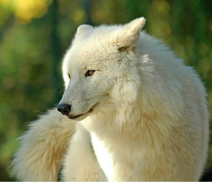 White Wolf White She Wolf