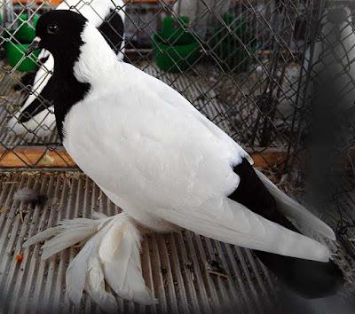 german colour pigeons -Tête de Maure Allemand ancien