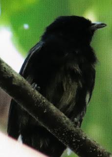 Black Manakin, Jarmo Komi