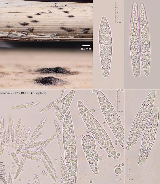 Stagonospora elegans