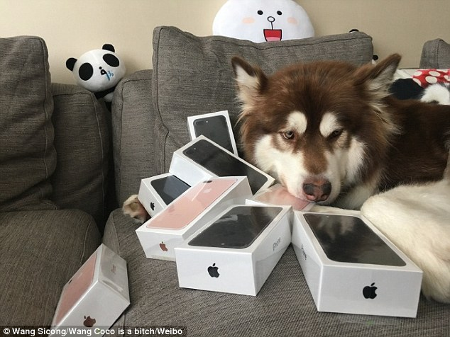 chinese millionaire buys 8 iPhone dog
