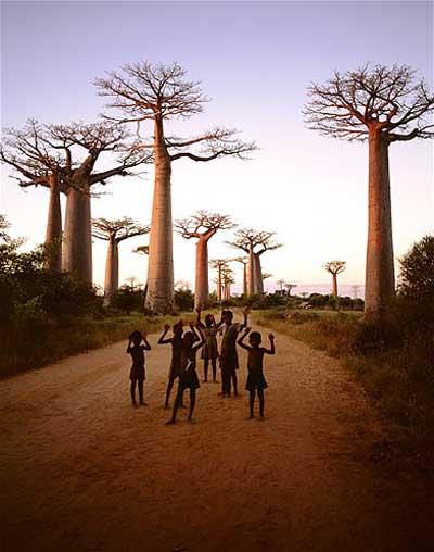 Pohon Baobab Madagaskar