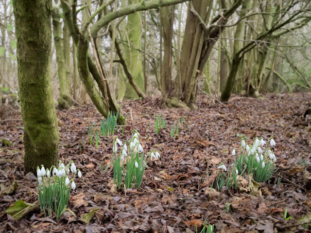 Clumps of snowdrops among leaf litter