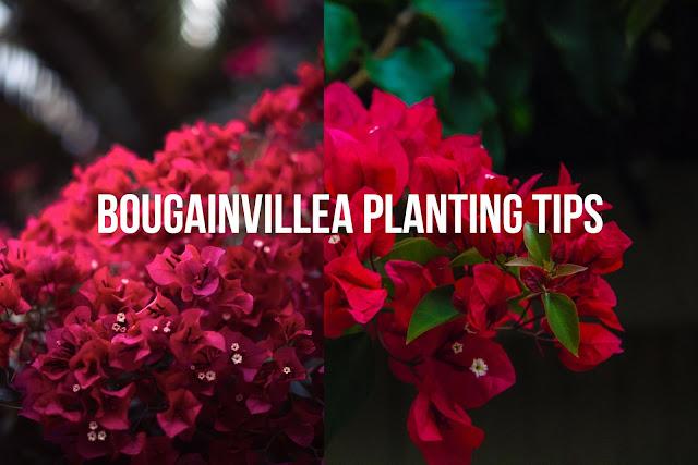 Boganvillea planting tips