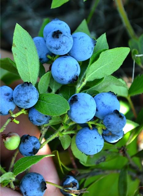 Simple Pleasures Wild Blueberries