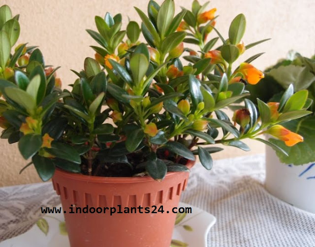 COLUMNEA X BANKSII Nematanthus plant