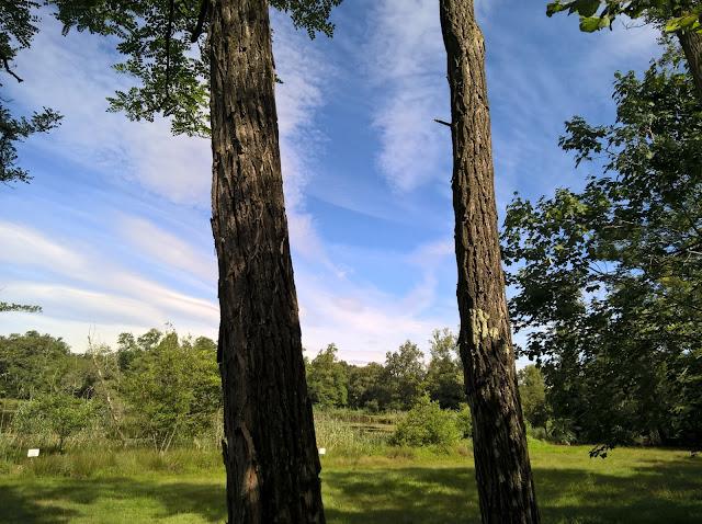 Tronchi Robinia pseudoacacia