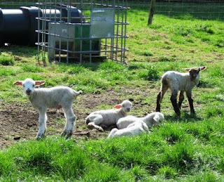 Image: 2 week old lambs on the HenSafe Smallholding