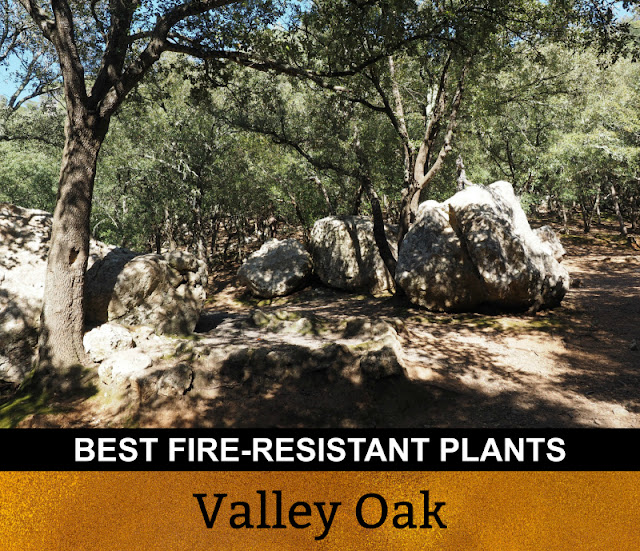 Best Fire Resistant Plants Valley Oak