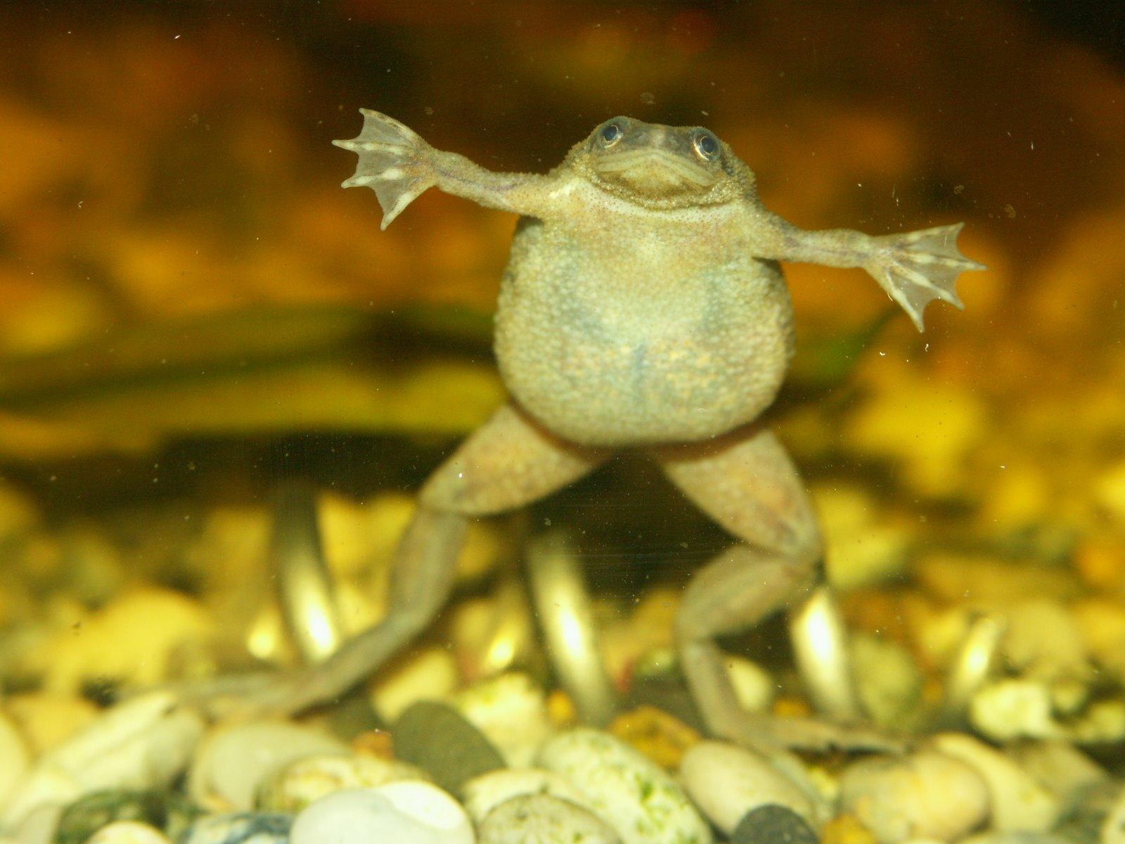 Pregnant African Dwarf Frog 115