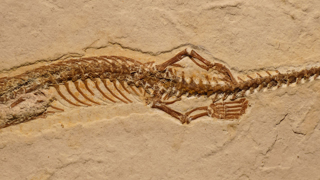 A 'transitional fossil' debunked