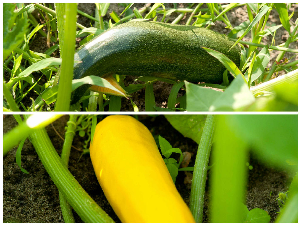 courgette courgettes oogst moestuin volkstuin