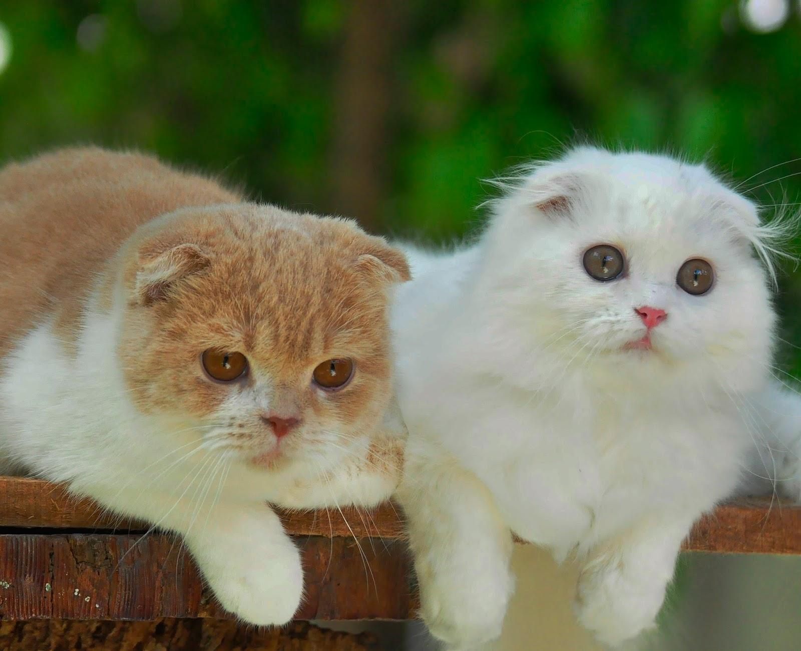 10 Kucing Ras Paling Favorit Di Indonesia Tahun 2016 Sukses
