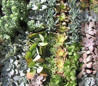 Succulent Plants. Assortment of 20 Gorgeous Echeveria Succulents. Wonderful grouping for weddings and shower favors.