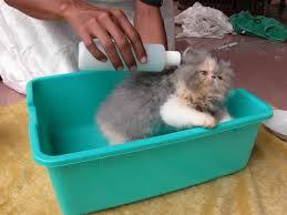 Cara Mudah Memandikan Kucing Persia Dirumah dengan Baik
