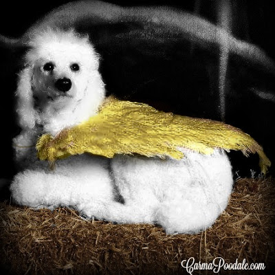 White poodle with gold wings laying on bale of straw, Carma Poodale