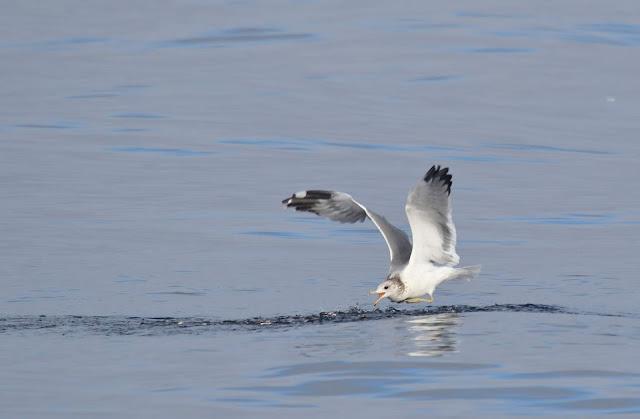 California Gull chasing bait fish