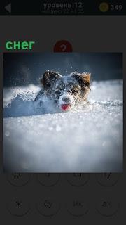 В большом сугробе снега лежит собака и высунула свой язык