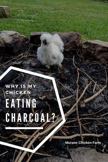 A white chicken in the firepit eating charcoal