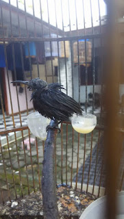 kolibri sakit