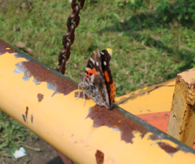 Indian Red Admiral