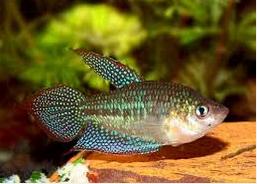 Pygmy Gourami, Ikan hias air tawar terindah, Pygmy Gourami mirip cupang