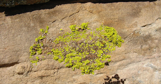 BacterioFiles 290 - Lichens' Little Lodgers