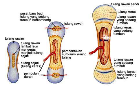 Proses pembentukan tulang/osifikasi