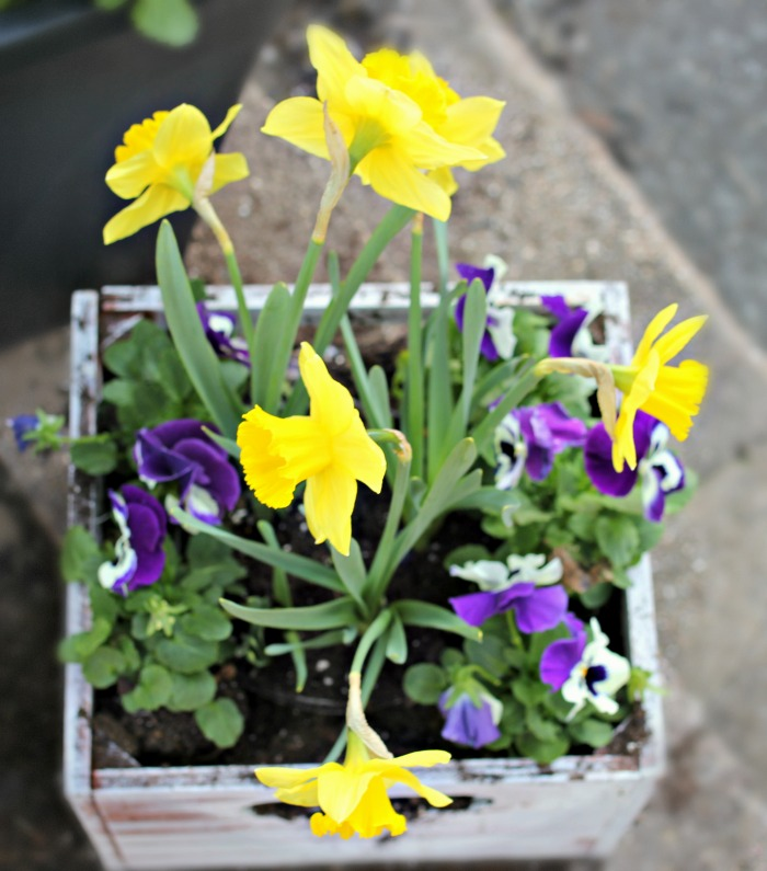 Daffodils and pansies in chalkboard planter from Home Depot - www.goldenboysandme.com