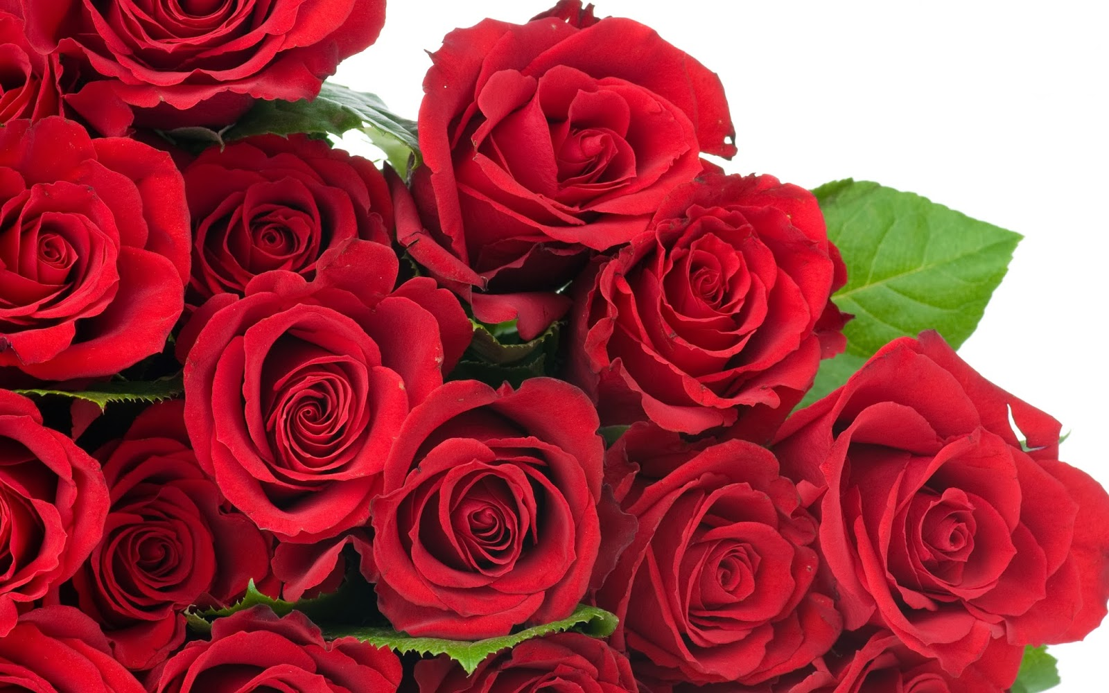 Red Rose Wallpapers Pictures Images: Red Rose HD Flowers Wallpapers