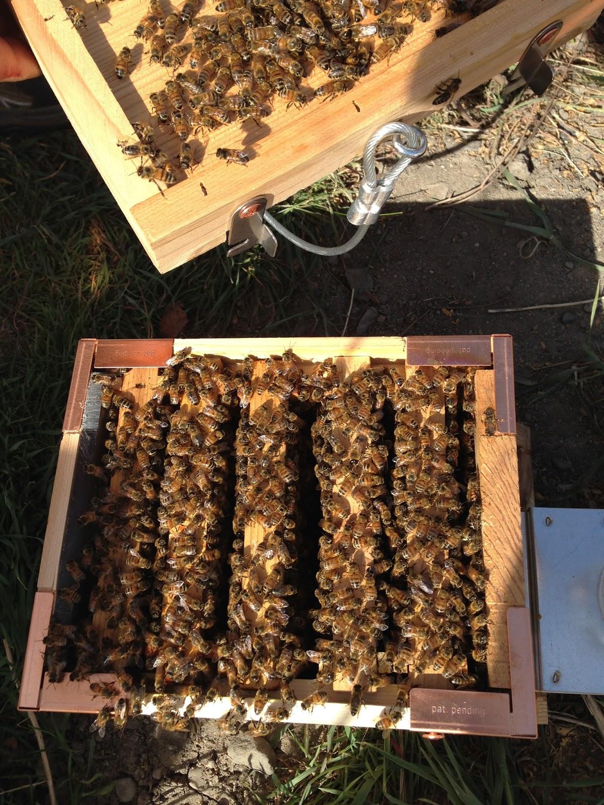 mini urban beehive inspection sept 7 2016 by albert chubak eco