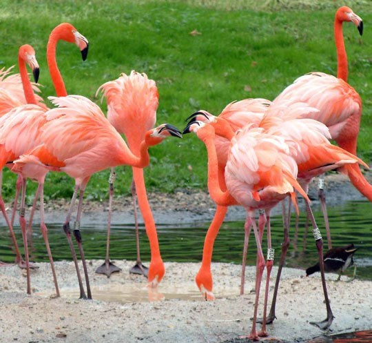 Sự thật thú vị xung quang loài chim hồng hạc, in hồng hạc