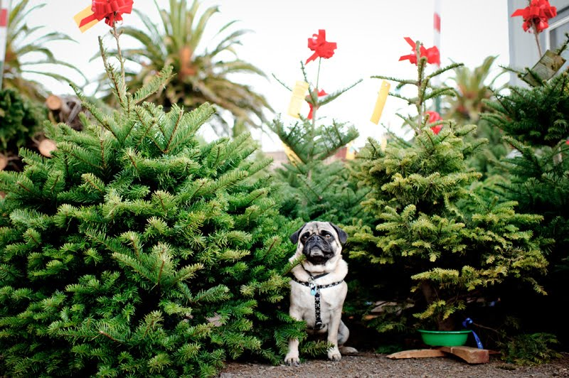 Delancey Street Christmas Trees.The Daily Puglet Pug Sized Trees