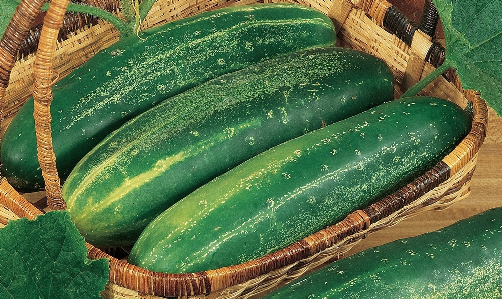 Tarım Siteniz Salatalık 199 Eşitleri Cucumber Varieties