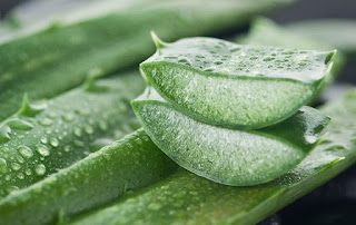 10 Reasons Why Every Home Should Have An Aloe Vera Plant